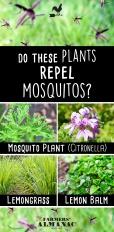 Mosquito-Repellent-Plants-Pin